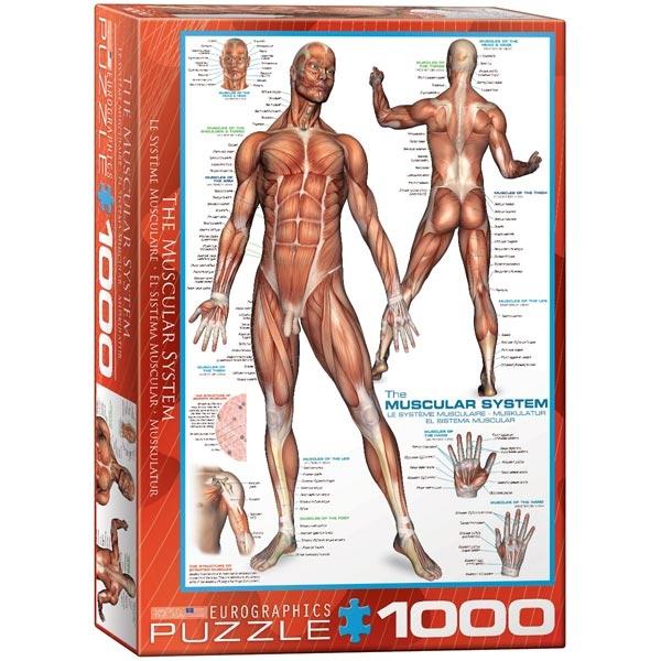 Eurographics Sistem mišića 1000-Pieces Puzzle 2015 - ODDO igračke